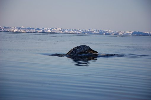 Narwhal takes a deep breath and dives below the floe edge