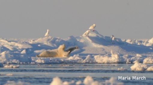 Polar Bear stretching on pack ice just 30m from base camp at 2am