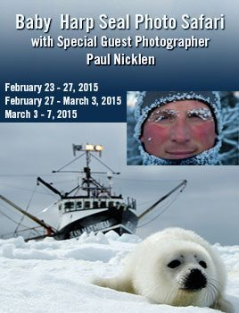 Baby-Harp-Seal-Photo-Safari-Paul-Nicklen