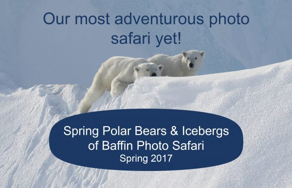 arctic kingdom spring polar bears and icebergs of baffin photo safari