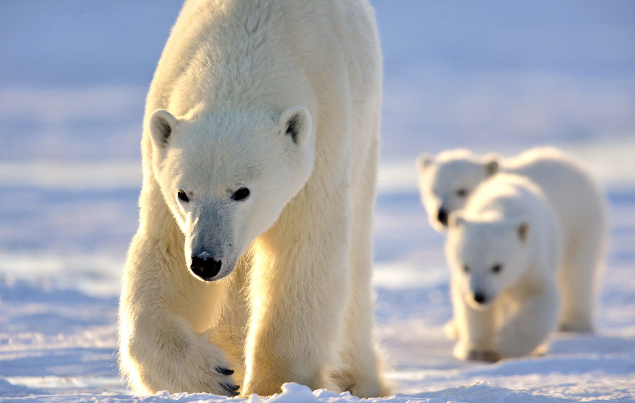 10 Fast Facts About Polar Bears | Arctic Kingdom