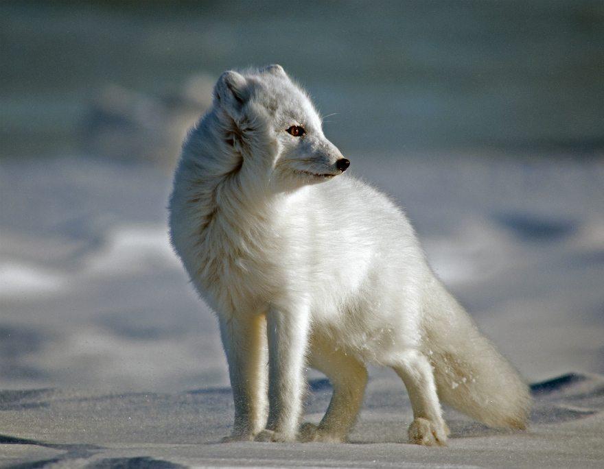 tundra animals - 880×684