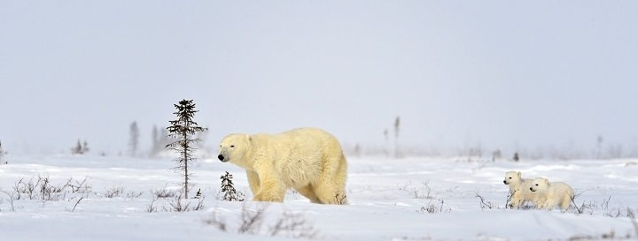 Polar Bear Mother and Cubs by Michelle Valberg _D4S7150_SM