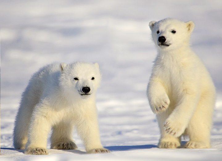 Polar bear with cubs - photo#15
