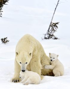 Polar Bear Mother and Cubs by Michelle Valberg __D4S6080_SM