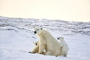Polar Bear Mother and Newborn Cubs by Michelle Valberg _MV84235_SM