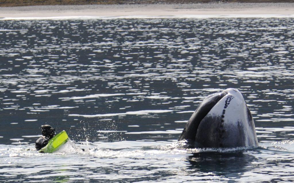 bowhead, arctic kingdom, swim with bowhead