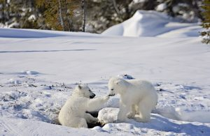 Polar Bear Mother and Newborn Cubs  by Michelle Valberg _MV82652_SM