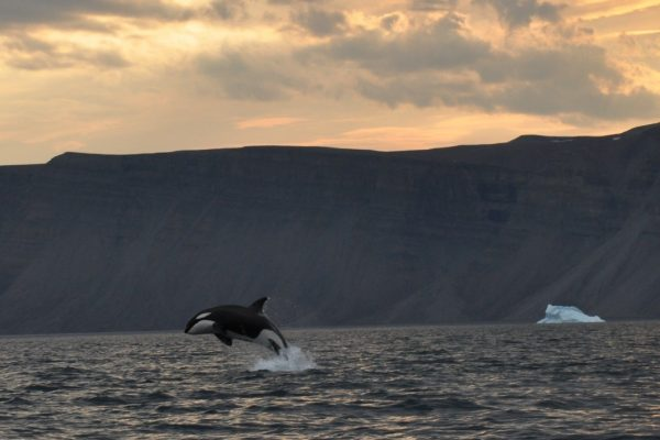 Breaching Orca with Iceberg - Lucky Shot!