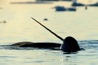 Narwhal under the midnight sun