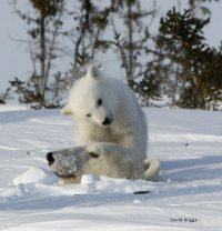 Cub watching mother polar bear emerge