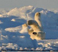 Polar bear rolling in snow