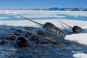 Narwhal, Paul Nicklen