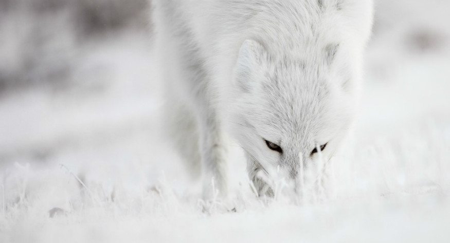 Arctic Fox Arctic Kingdom wildlife