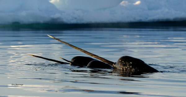 A pair of narwhal surface
