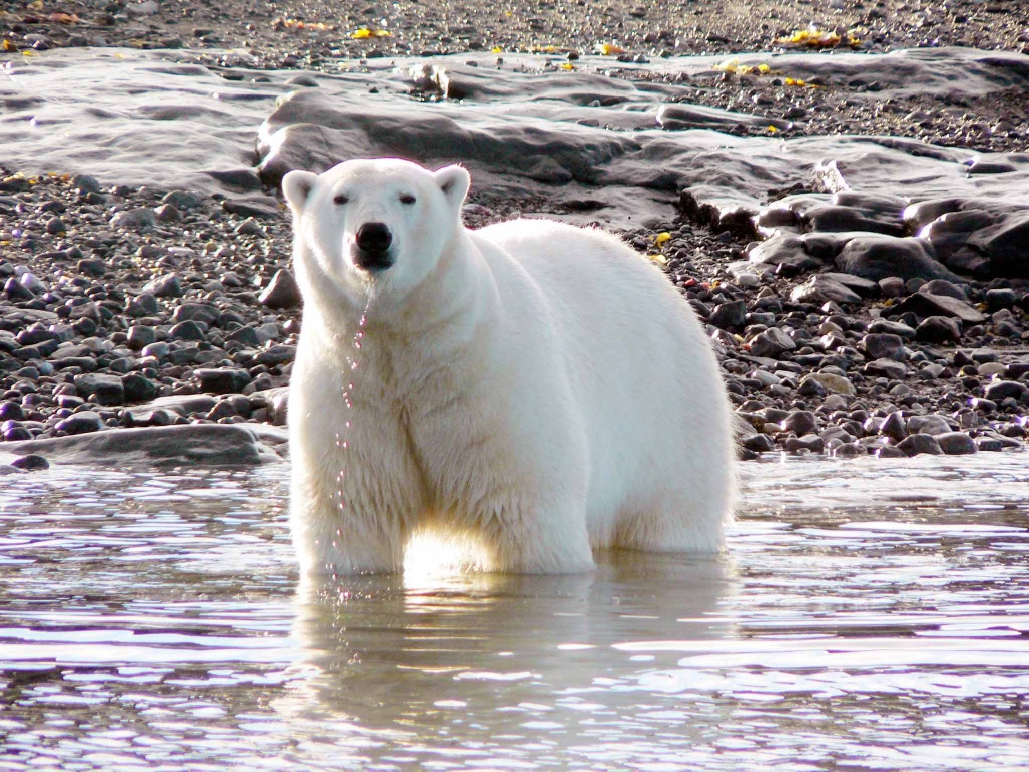 Arctic summer polar bear - Arctic Kingdom safari