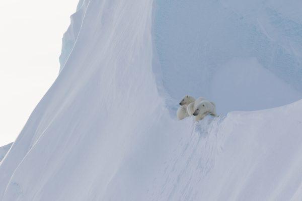 Arctic Kingdom Polar bear mother and cub on iceberg wildlife photography