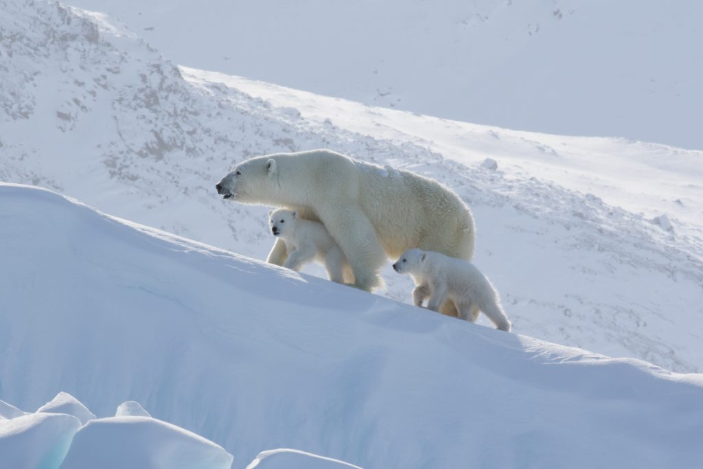 Arctic Kingdom Polar Bear Mother Cubs wildlife photography