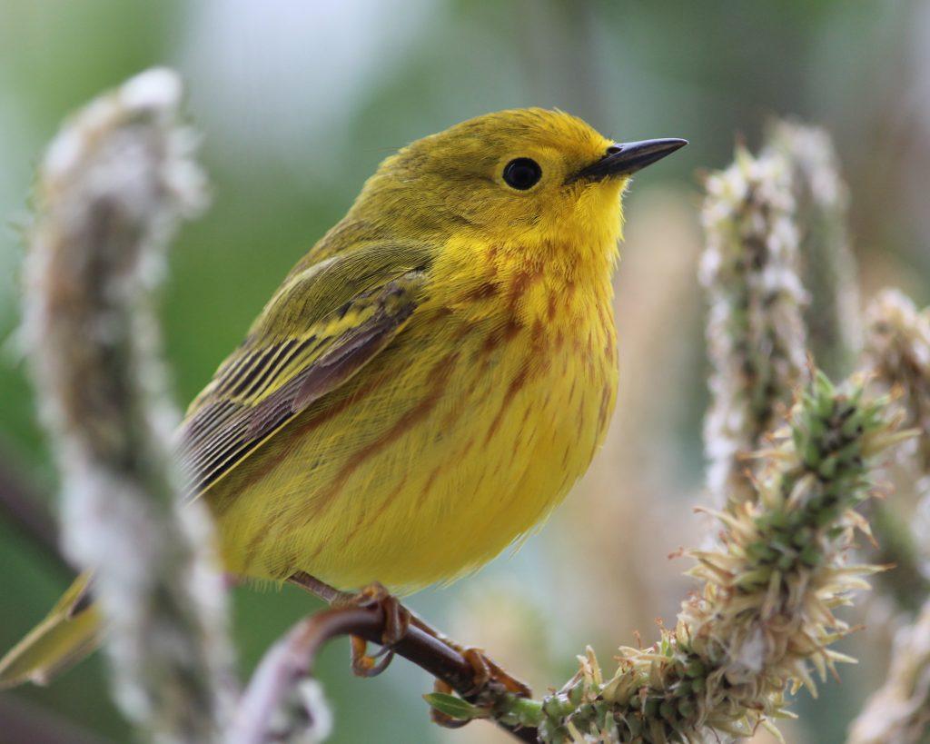 Bathurst Inlet Lodge yellow warbler birding Arctic Kingdom