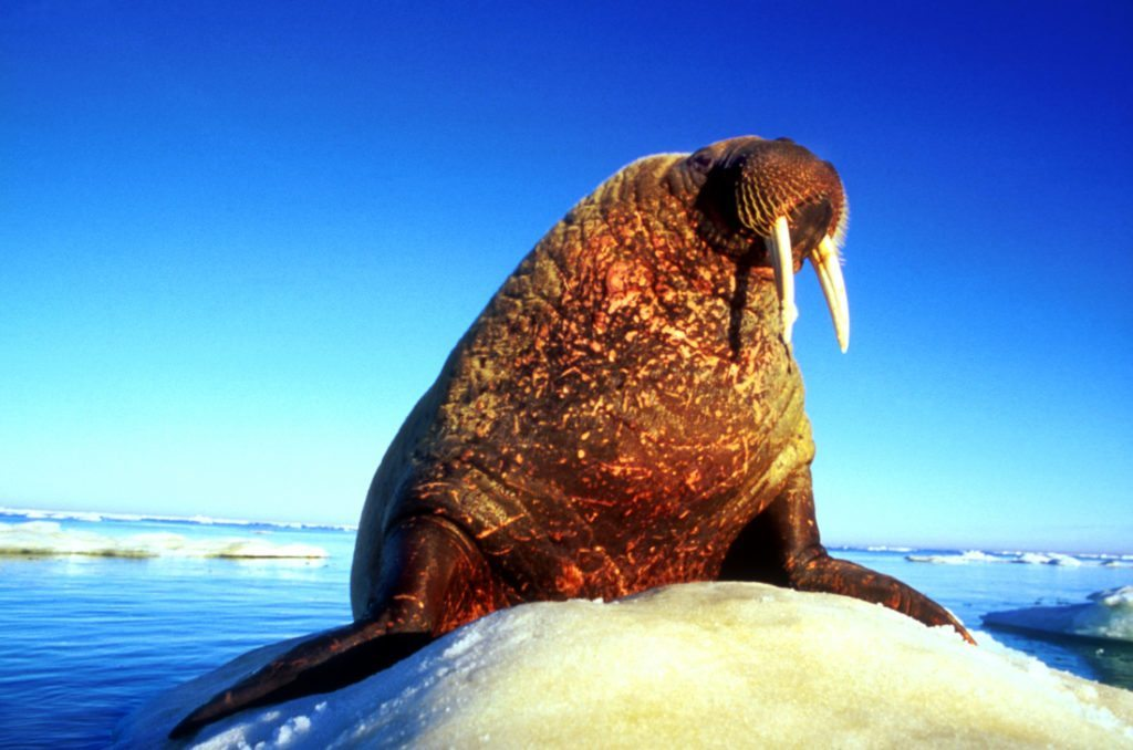Arctic Kingdom Walrus on ice wildlife photography