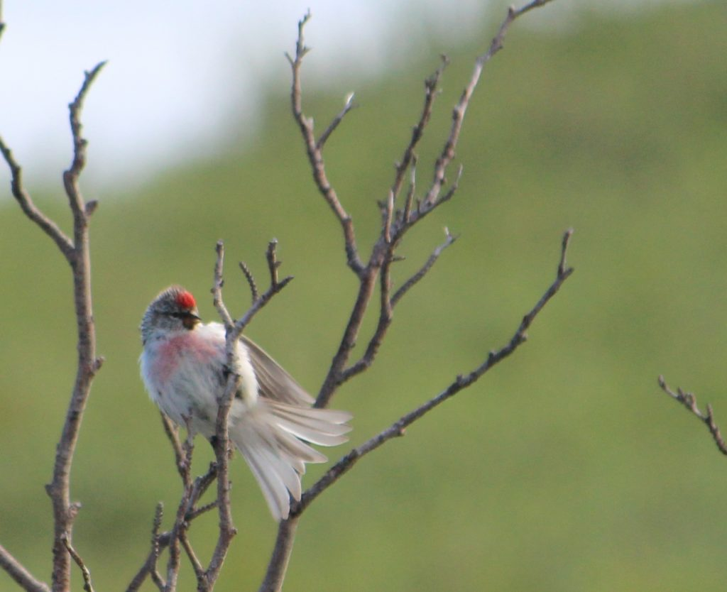 Hoary redpoll Bathurst Inlet Lodge birding Arctic Kingdom