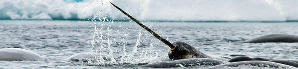 Arctic Kingdom Narwhal wildlife photography