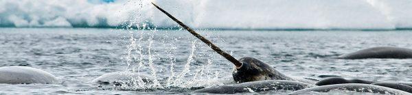Arctic Kingdom Narwhal wildlife photography