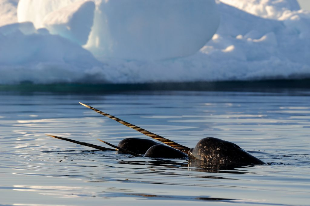 Narwhal Arctic Kingdom Wildlife