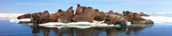 Arctic Kingdom walrus pod wildlife photography