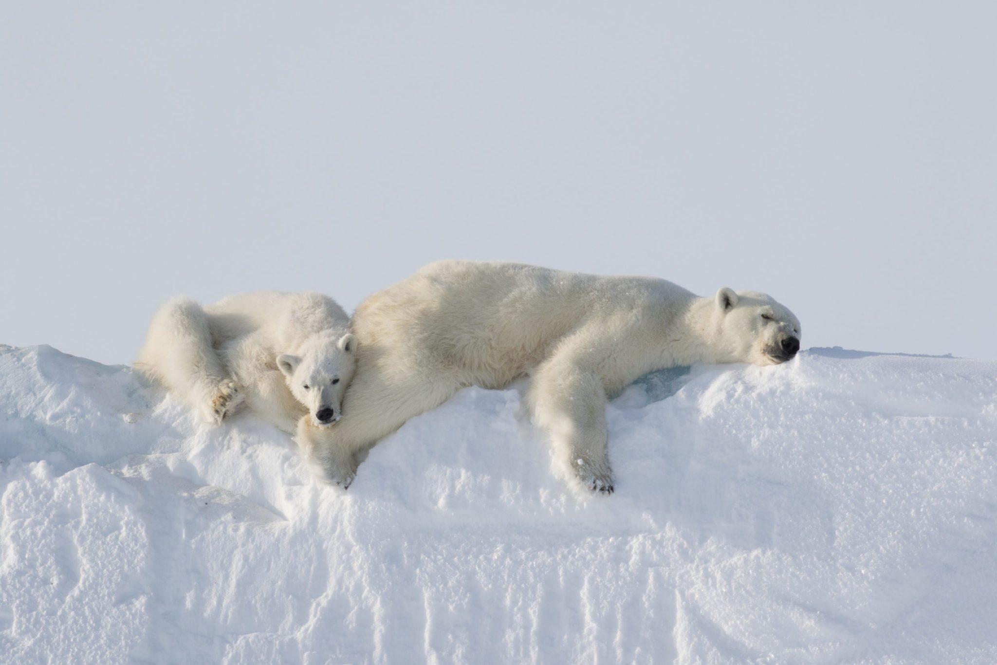 arctic photography polar bear mother cub on iceberg