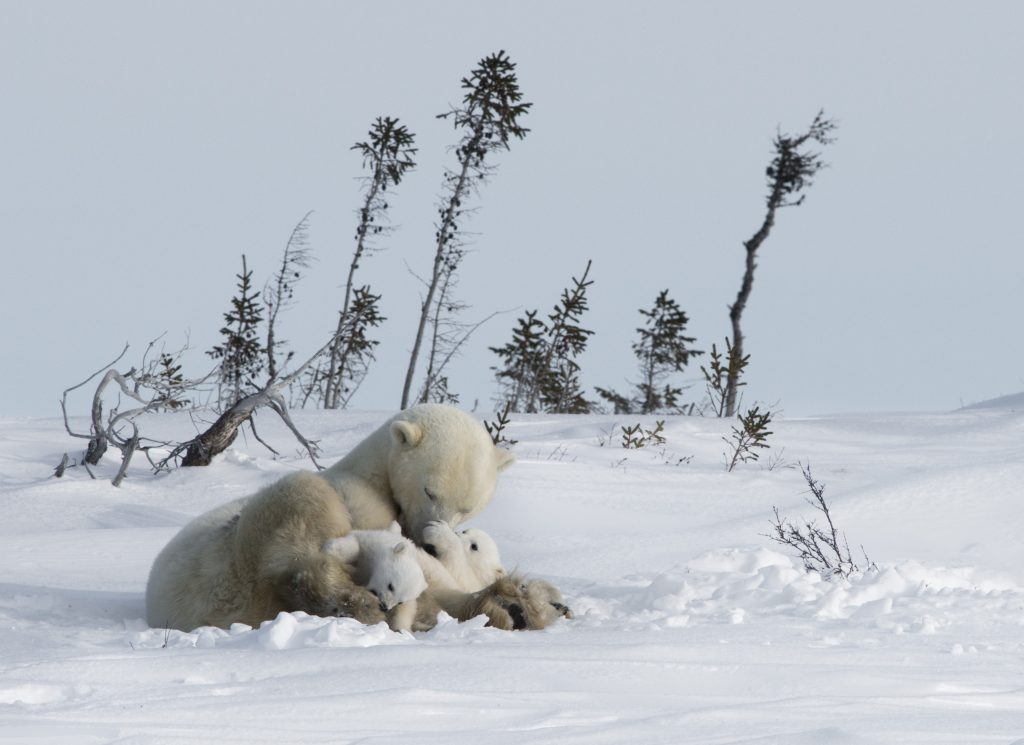 arctic kingdom polar bear mother and newborn cubs