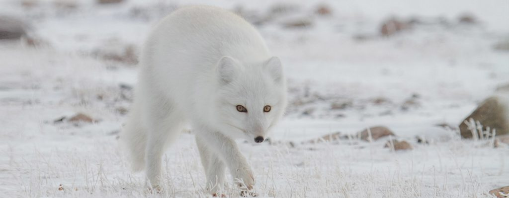 arctic fox arctic kingdom