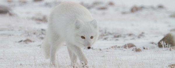 arctic fox arctic kingdom