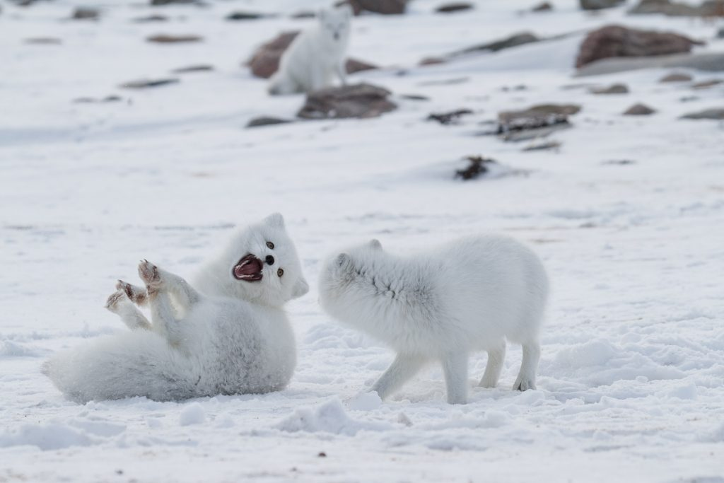10 Fun Facts About The Arctic Fox | Arctic Kingdom