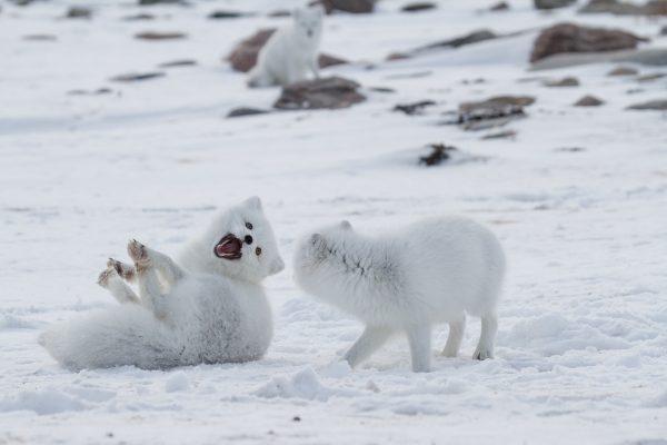 Arctic Kingdom Arctic Fox