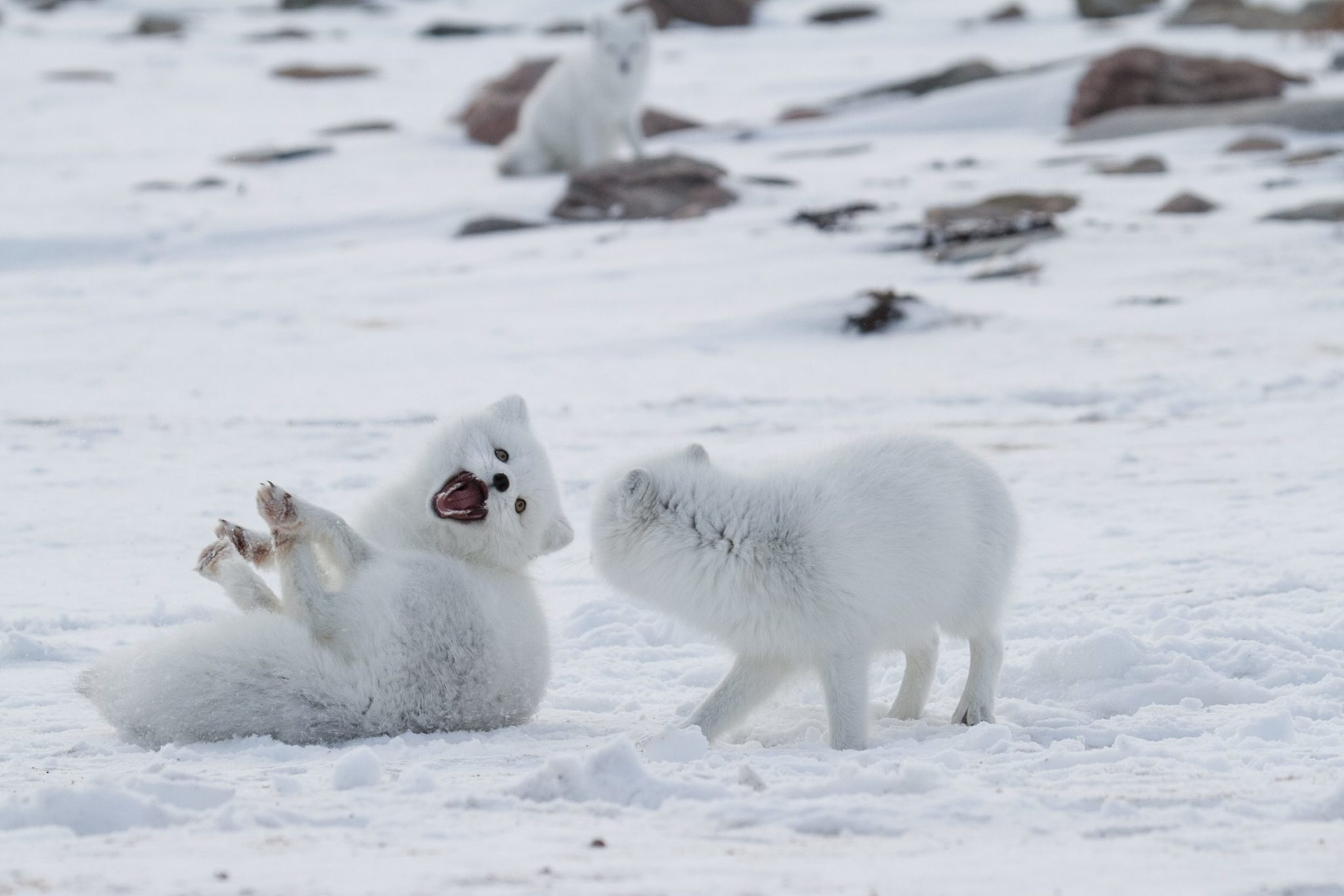 10 fun facts about arctic fox arctic kingdom