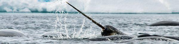 nasrwhal floe edge arctic kingdom