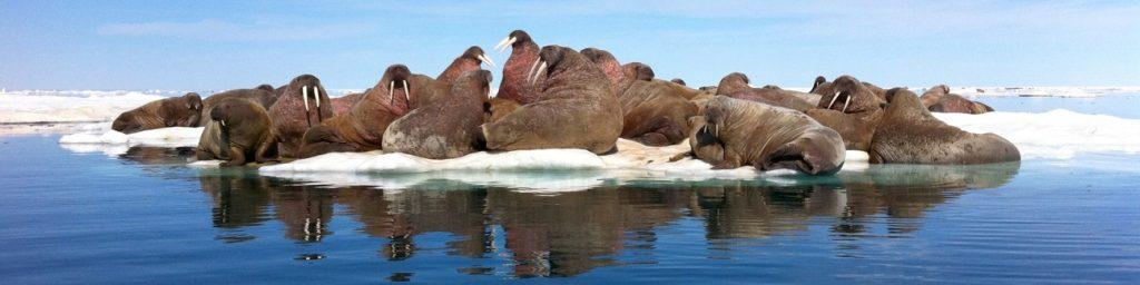 walrus on ice arctic kingdom igloolik