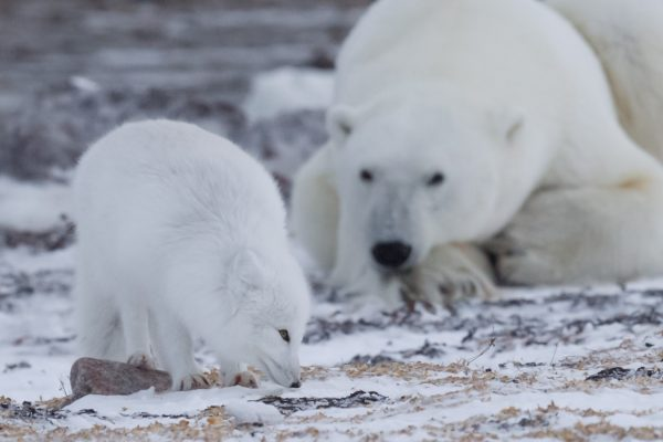 arctic fox and polar bear commensalism relationship