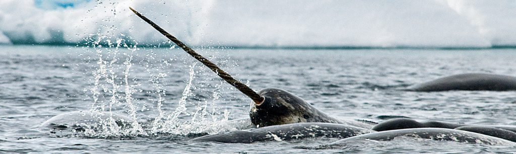 narwhal arctic wildlife_arctic Kingdom