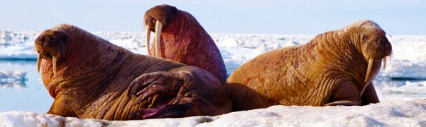 arctic wildlife walrus_arctic Kingdom