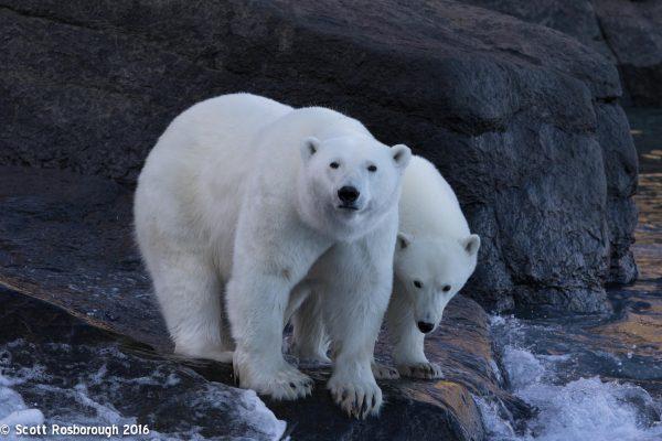 polar bears in summer arctic kingdom