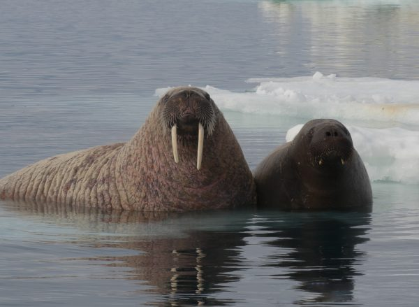 walrus in water arctic kingdom