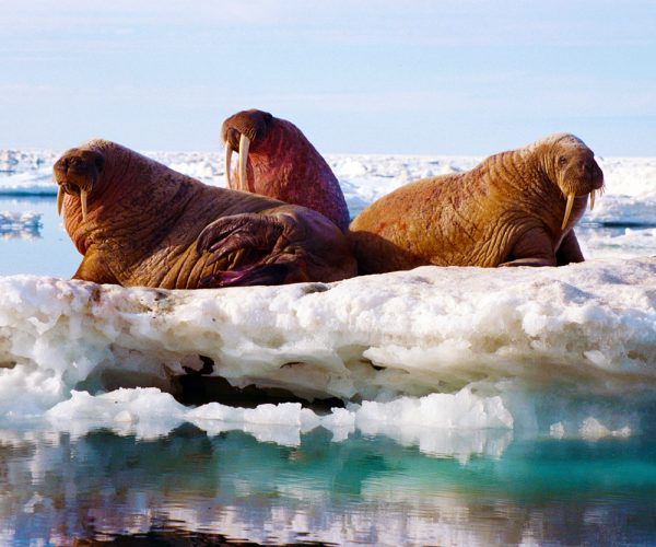 arctic kingdom 3 walrus on ice