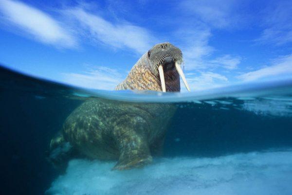 walrus arctic kingdom water shot