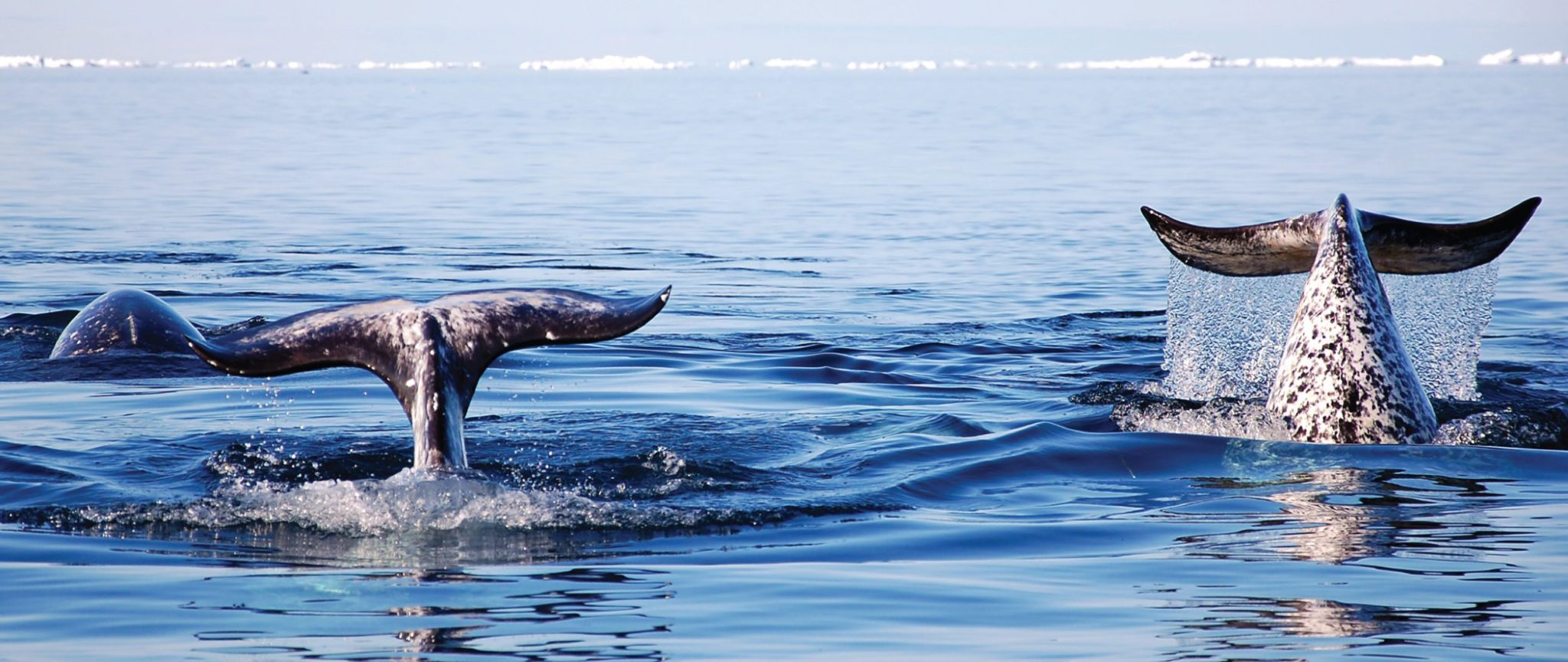 beluga watching in the arctic