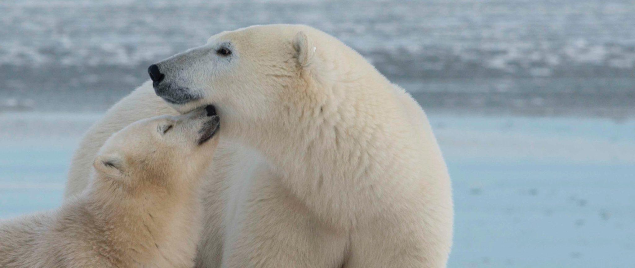 Polar Bear Safari: Migration & Arctic Flying Experience   Arctic Kingdom