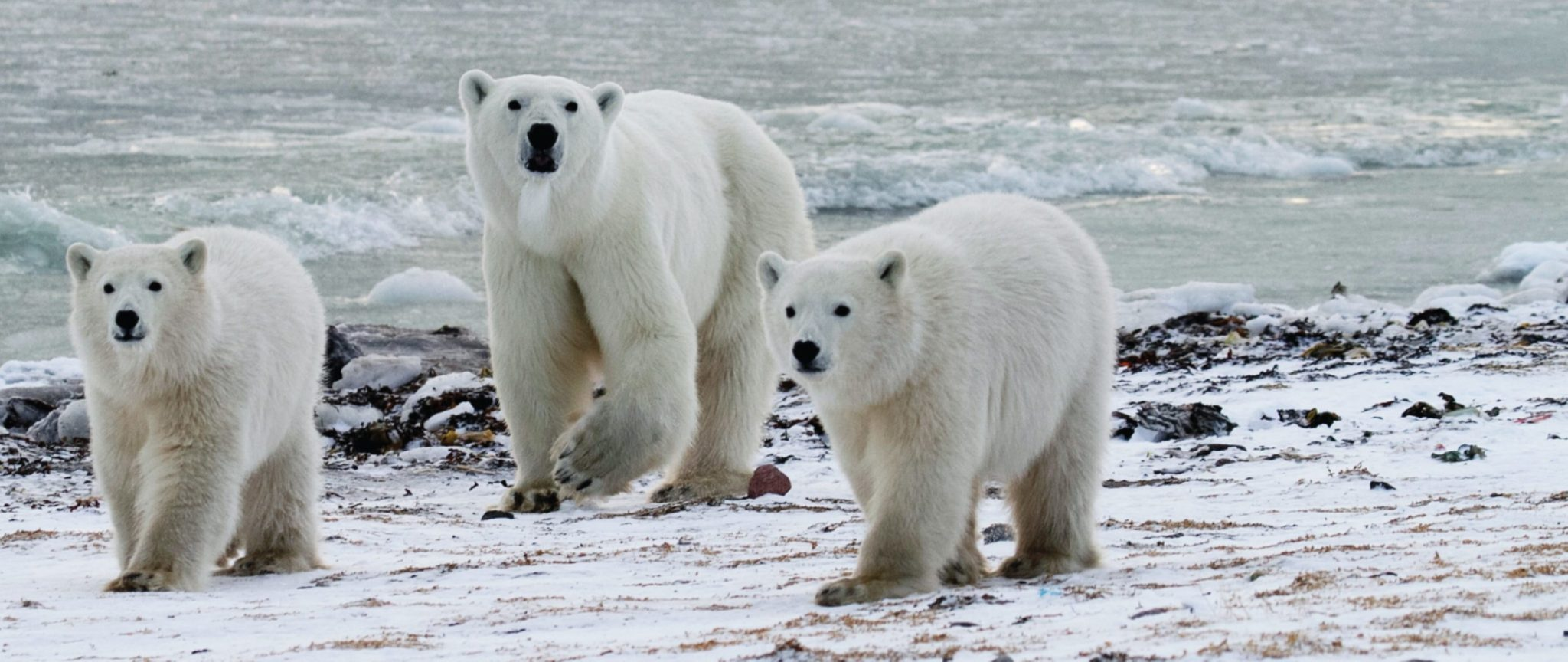 the ultimate polar bear tours