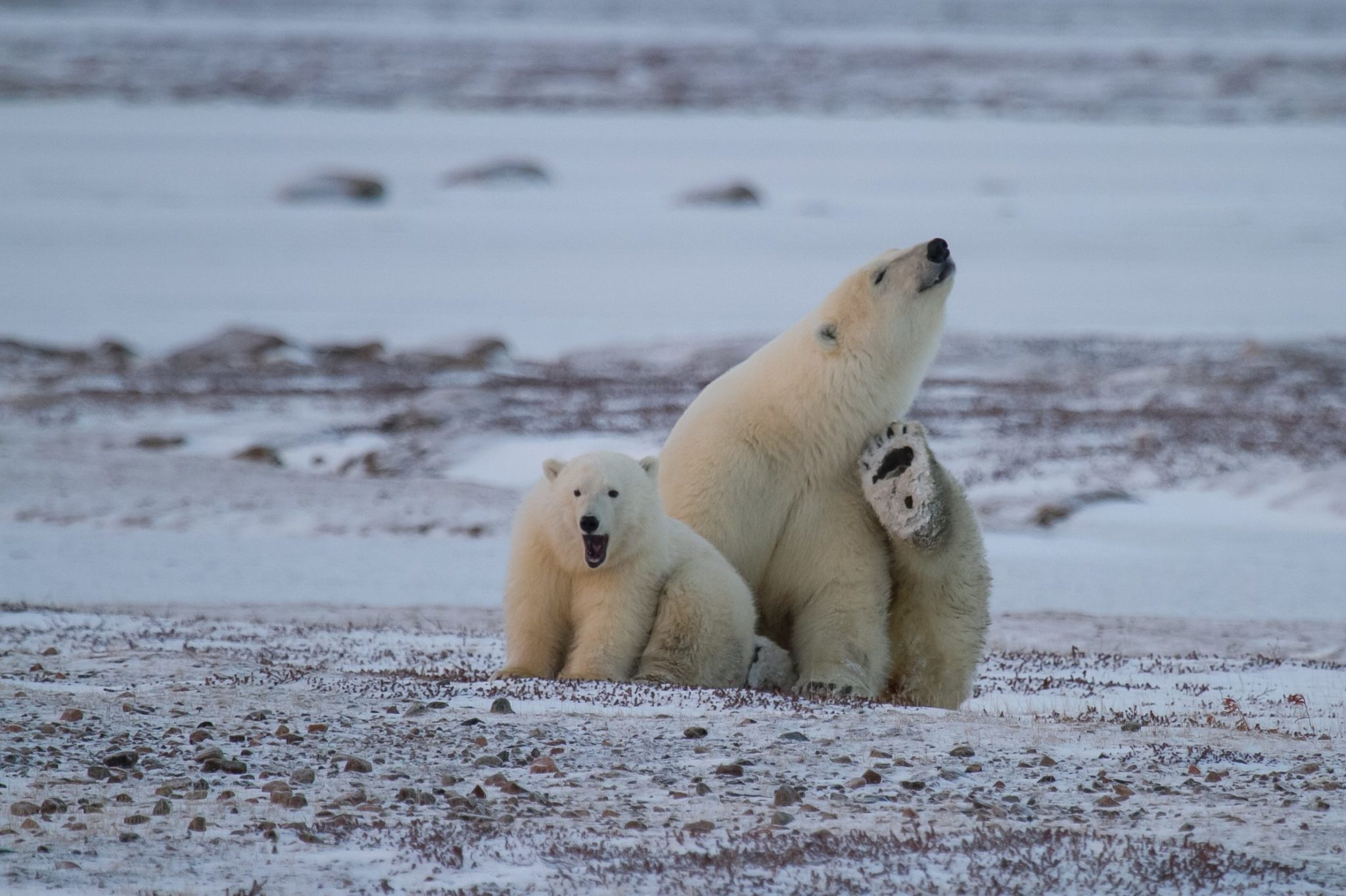 Autumn Polar Bear Tours