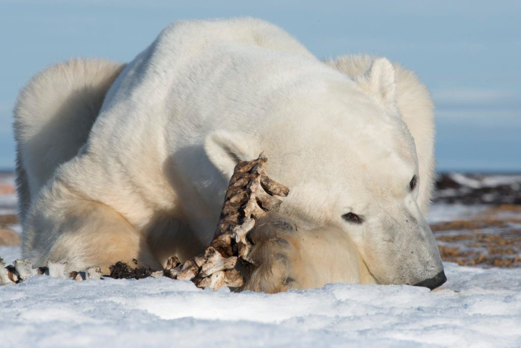 Churchill Tundra Buggy vs Arctic Polar Bear Safari | Arctic Kingdom